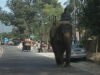 Elephant in the traffic