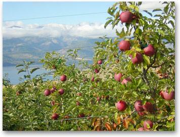 humanitarian-fof-apples